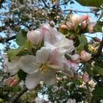 Boskoop Apfel-Blüte